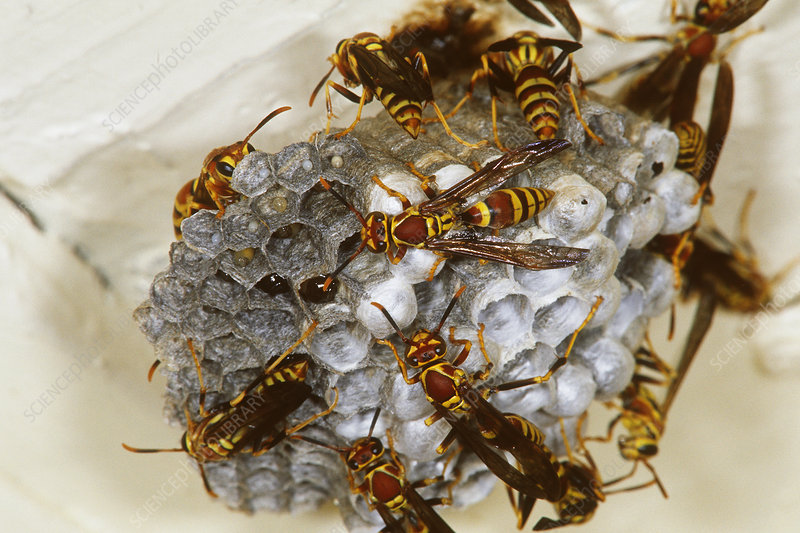 Golden Paper Wasps