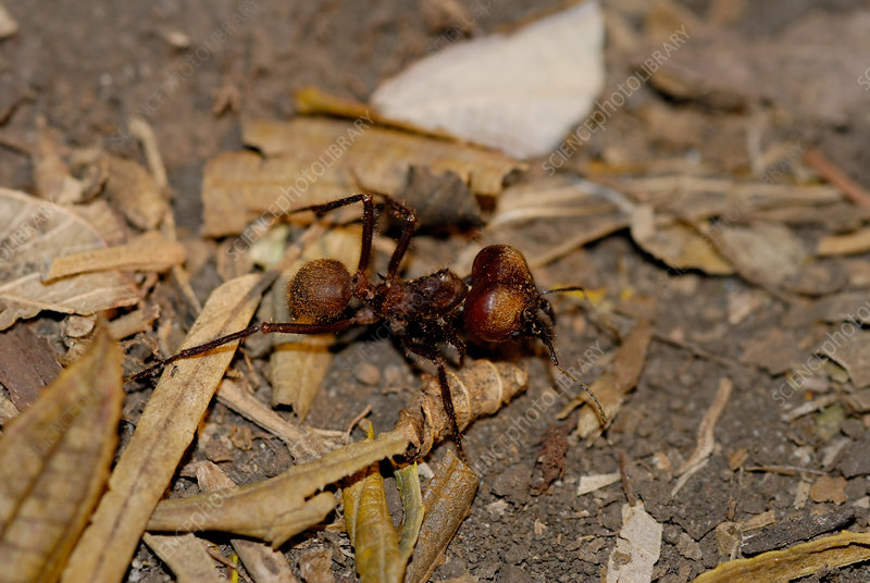 Leaf Cutter Ant Soldier