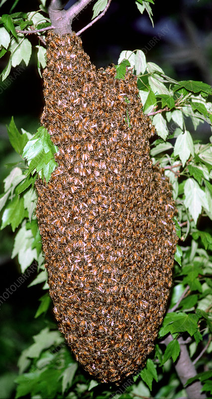 Swarm of wild honeybees