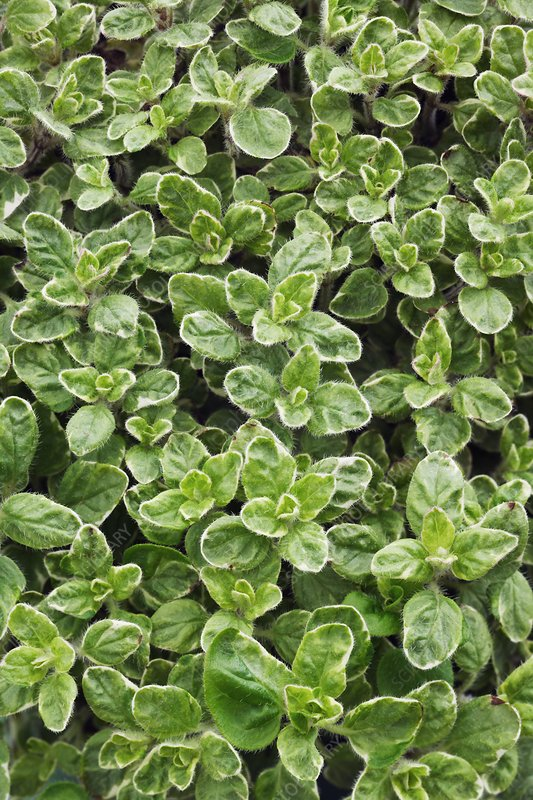 Origanum vulgare 'Country Cream'