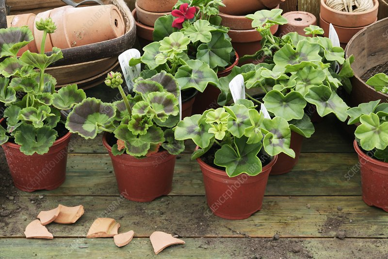 Small pelargonium plants
