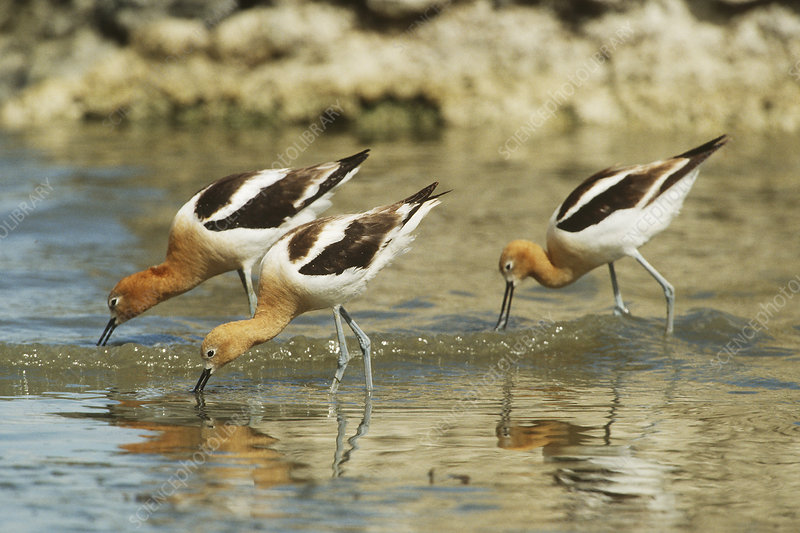 American Avocets feeding in shallow water
