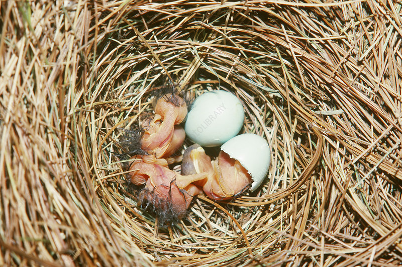 Eastern Bluebirds hatching in nest