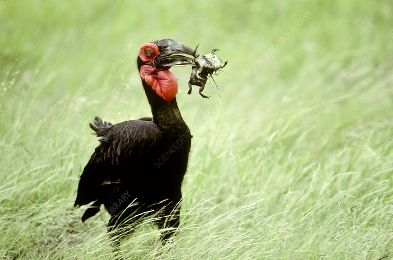 Southern Ground-hornbill with frog prey