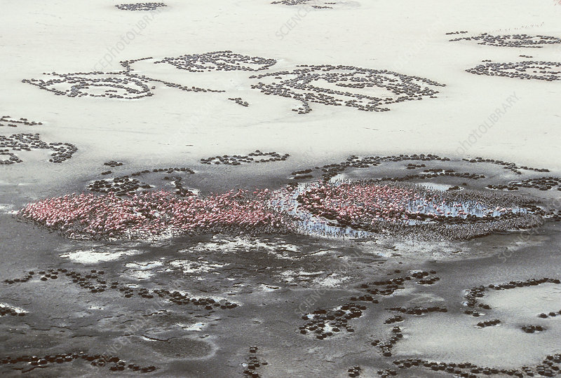 'Lesser Flamingoes, Lake Natron, Tanzania'