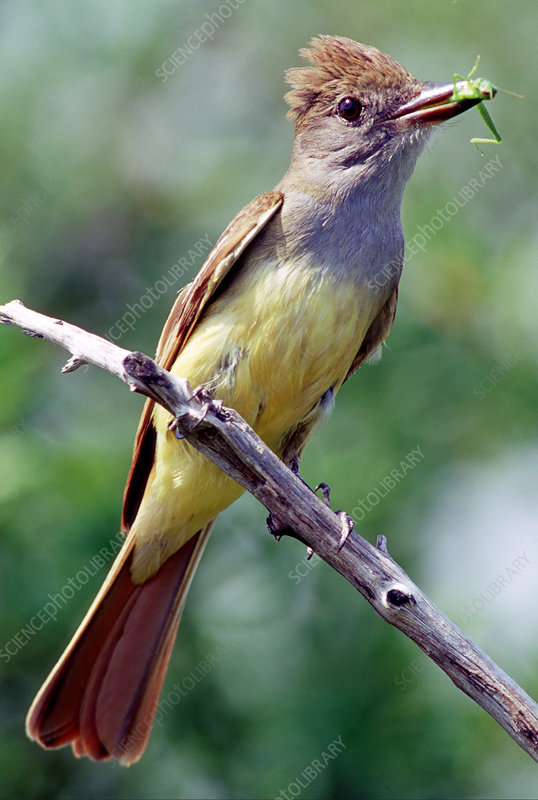 Great Crested Flycatcher with bug