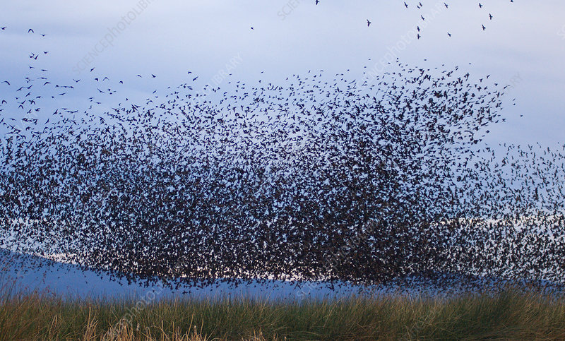Flocks of Cowbirds (Molothrus ater)