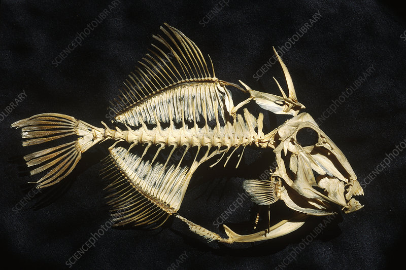 Hornfish Skeleton