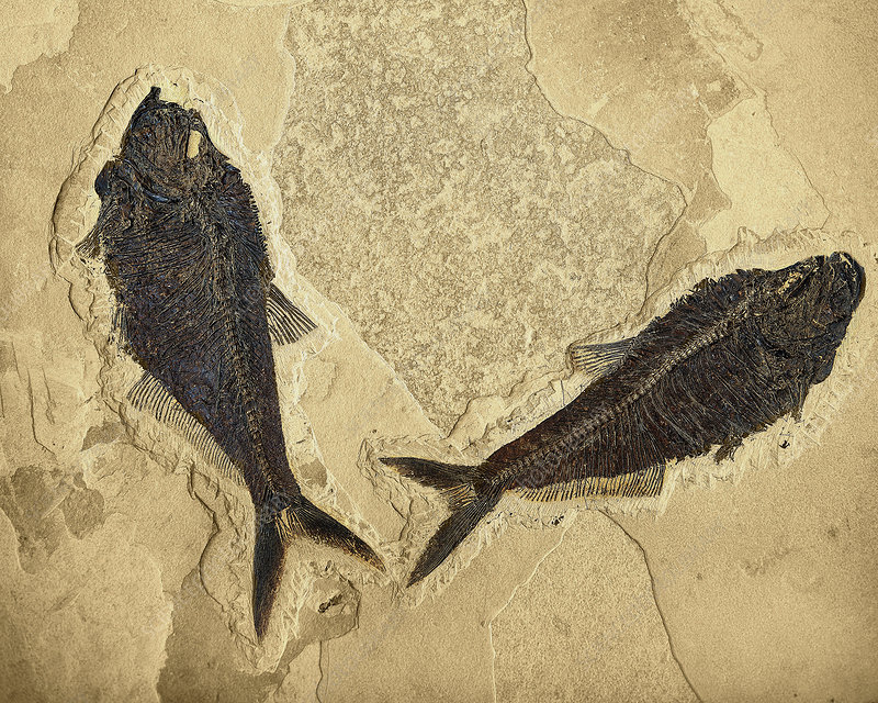 Fossilized Fish (Diplomystus)