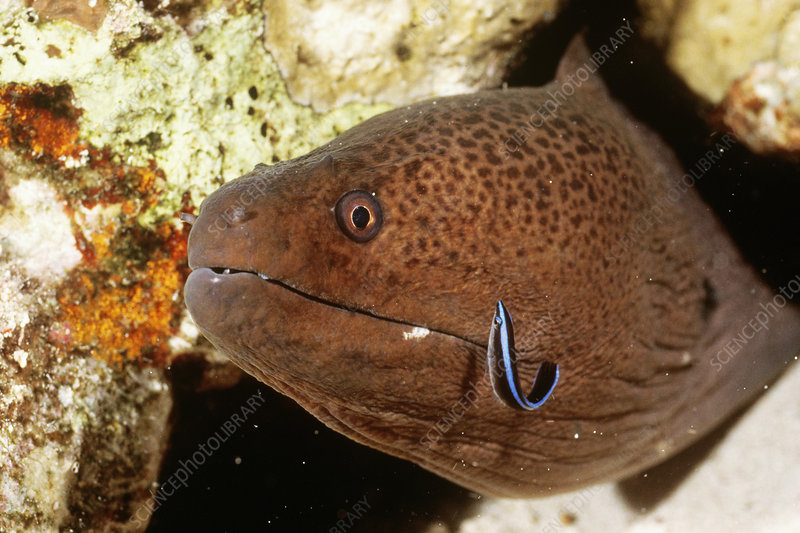 Cleaner Wrasse with Moray Eel