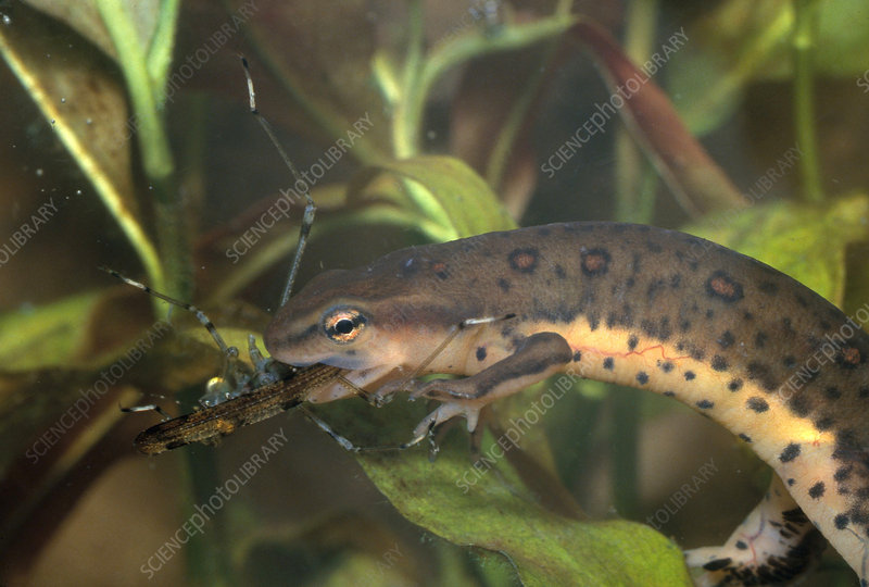Red-spotted Newt Eating Insect