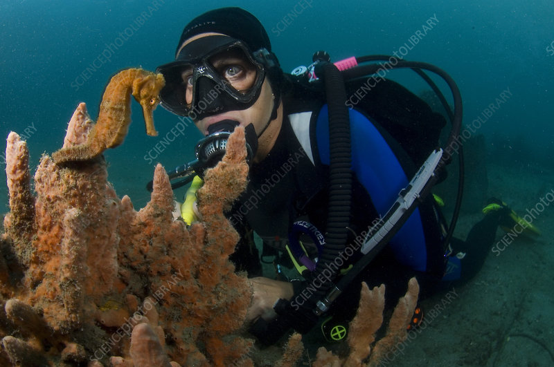 Diver and Long Snout Seahorse