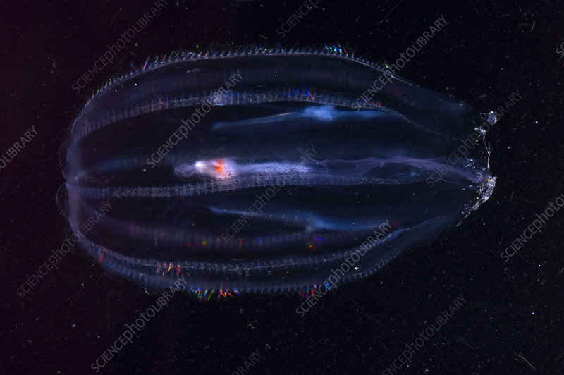 Comb Jelly