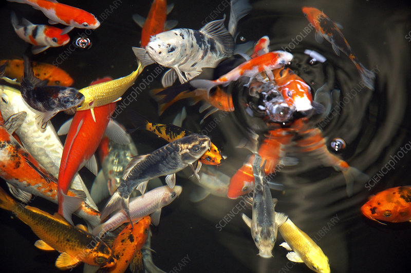 Koi Feeding at Surface of Pond