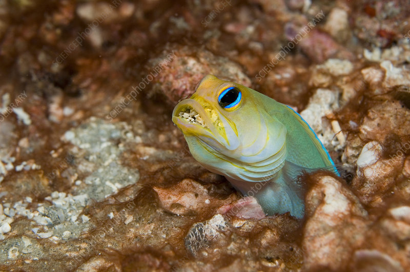Yellowheaded Jawfish