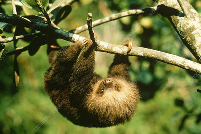 Juvenile Two-toed Sloth
