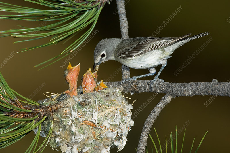 Plumbeous Vireo feeding chicks in nest