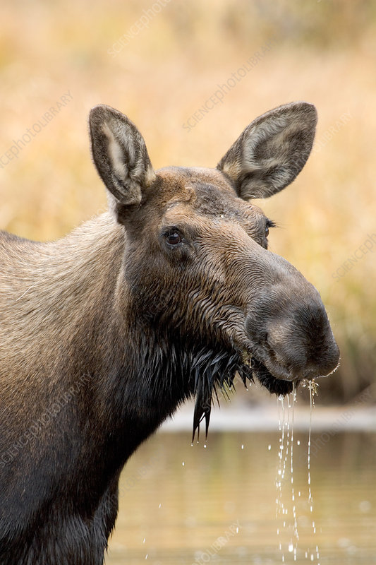 Shiras Moose feeding on plants