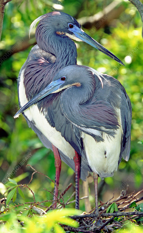 Tricolor Heron adults in breeding plumage