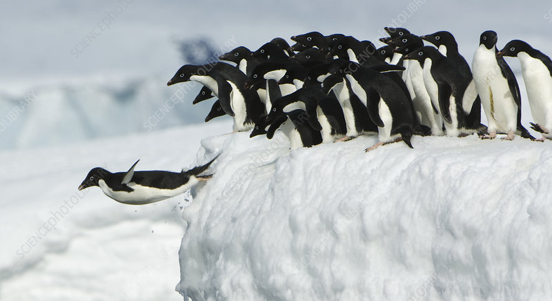 Adelie penguin leaping into ocean