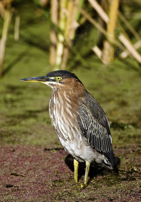 Green heron in a pond