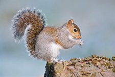 Grey squirrel feeding