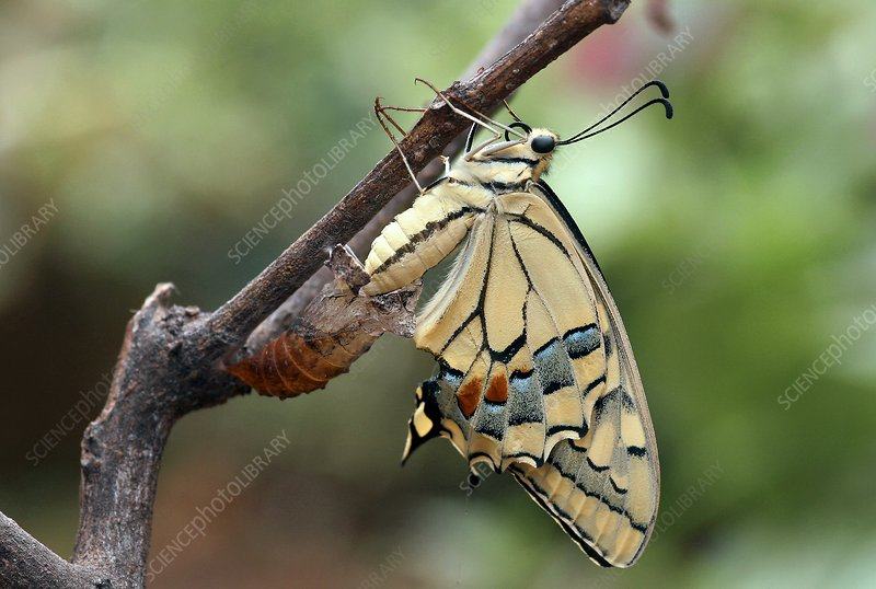 Swallowtail butterfly emerging