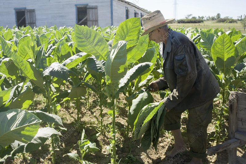 Tobacco farming