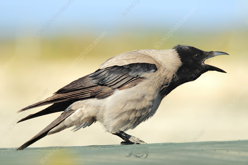 Hooded crow calling