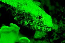Lizard fish fluorescing