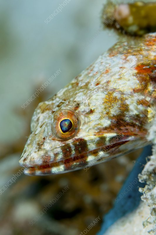 Lizard Fish Stock Image C002 3078 Science Photo Library