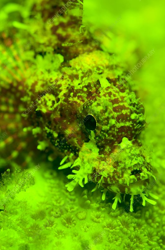 Scorpion fish and coral fluorescing