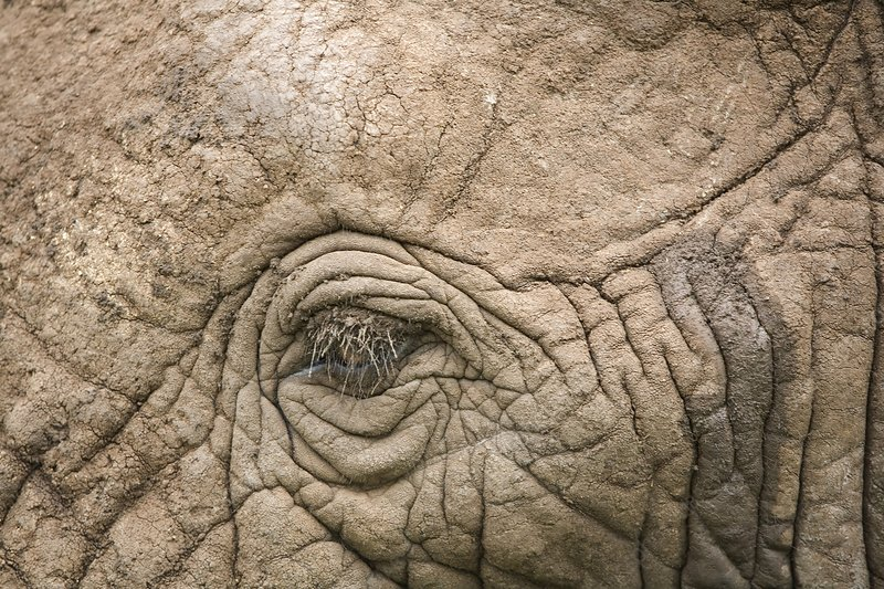 African elephant eye and skin