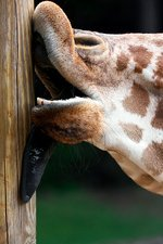 Giraffe licking a pole