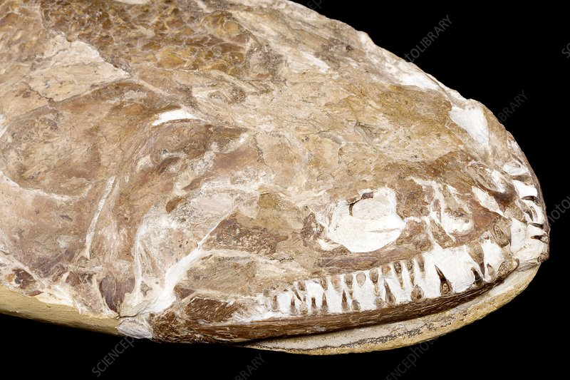 Fish fossil head