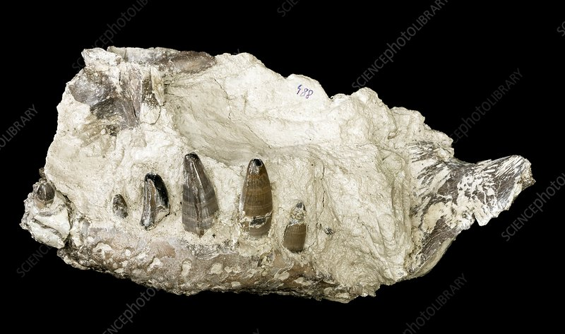 Crocodile jaw fossil
