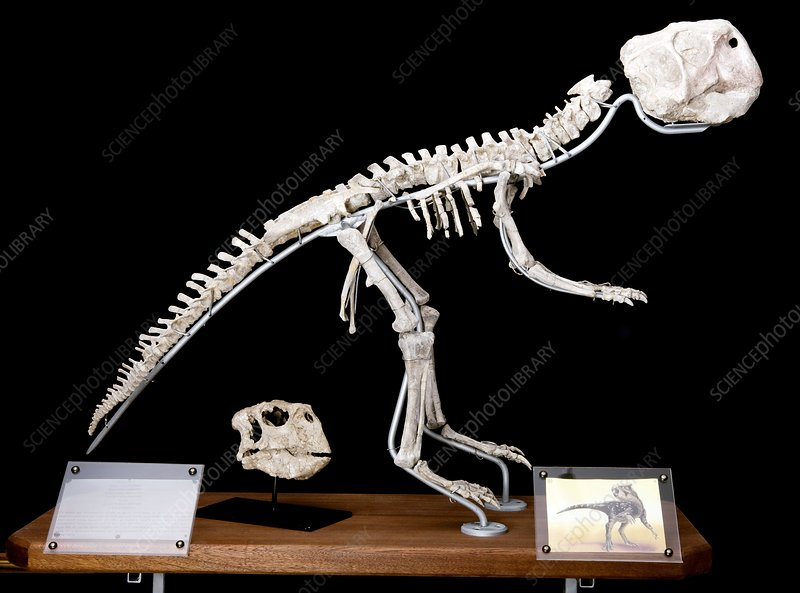 Dinosaur skeleton in a fossil museum