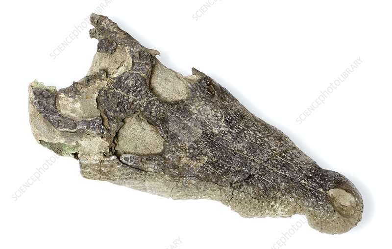 Caiman jaw fossil