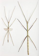 Male and female giant stick insects