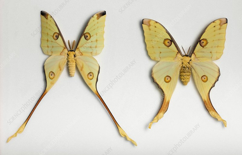 Male and female Argema moths