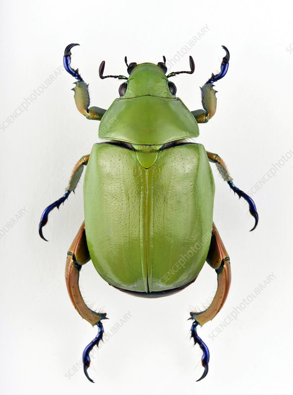 Male jewel scarab beetle