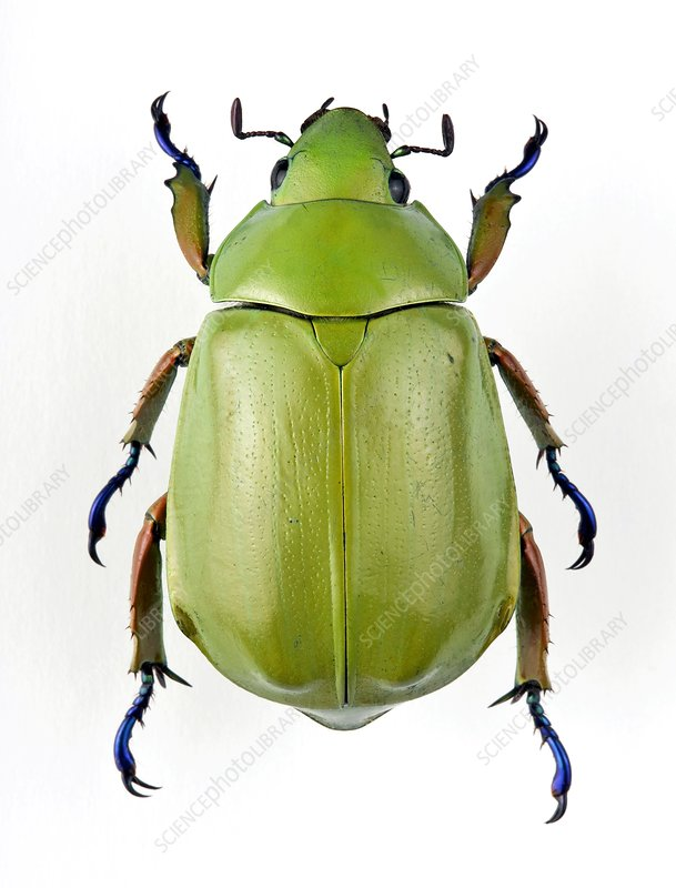 Female jewel scarab beetle