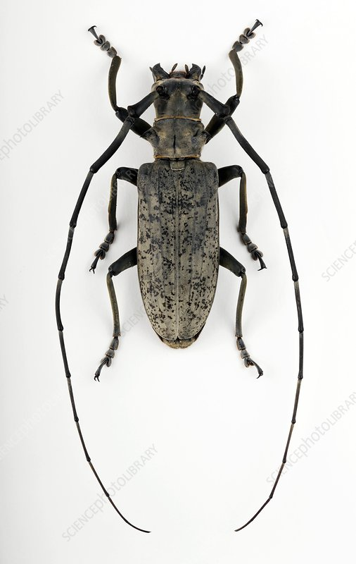 Male Pseudomeges longhorn beetle