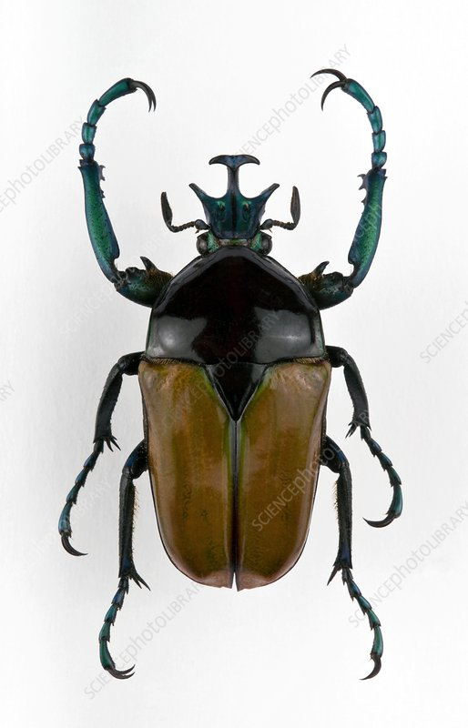 Male Neptunides flower beetle