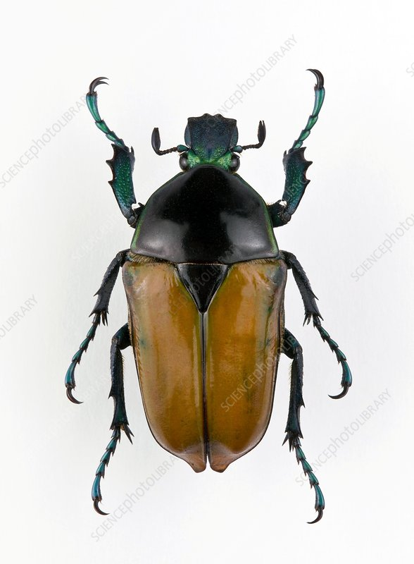 Female Neptunides flower beetle