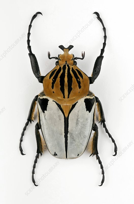 Male Goliath beetle