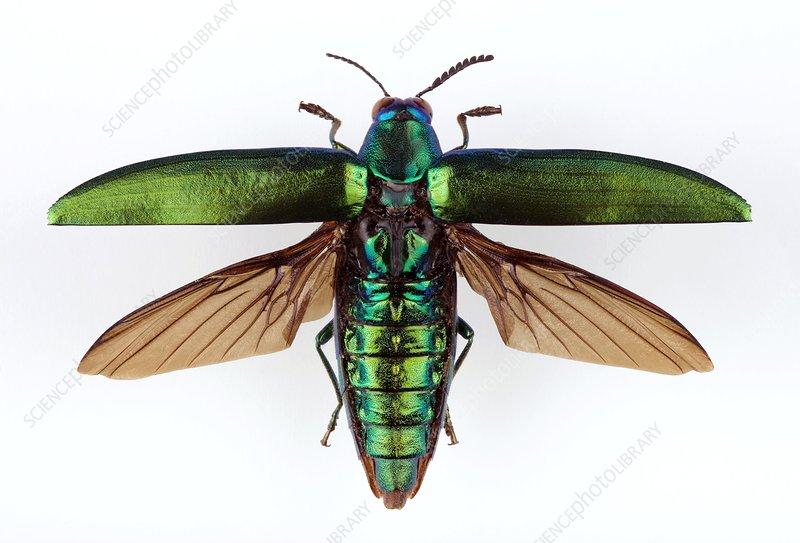Chrysochroa jewel beetle - Stock Image - C002/3937 - Science