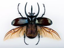 Male Atlas beetle