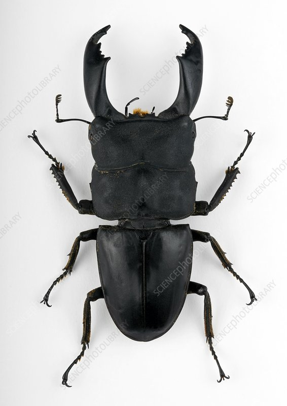 Male Dorcus stag beetle