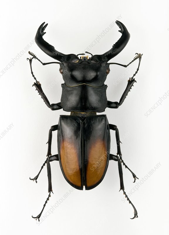 Male Hexarthrius stag beetle